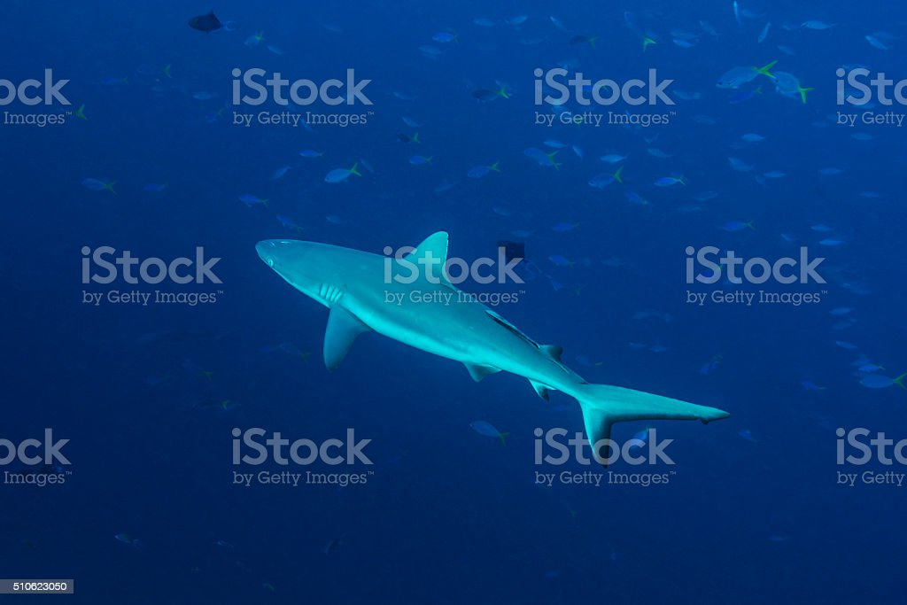 Grey reef shark, Blue Corner - Palau stock photo