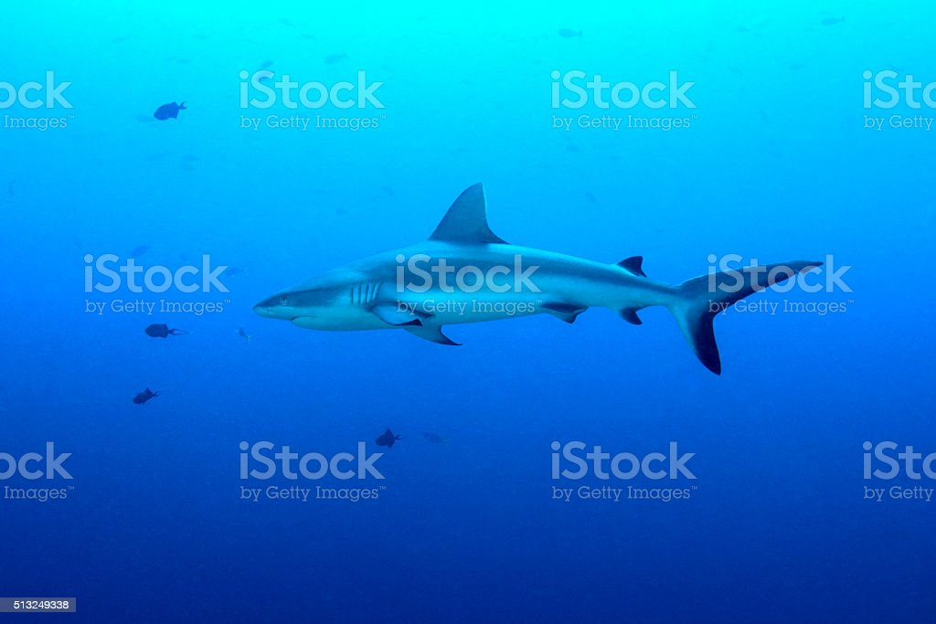 Grey reef sharks, Blue Corner - Palau stock photo