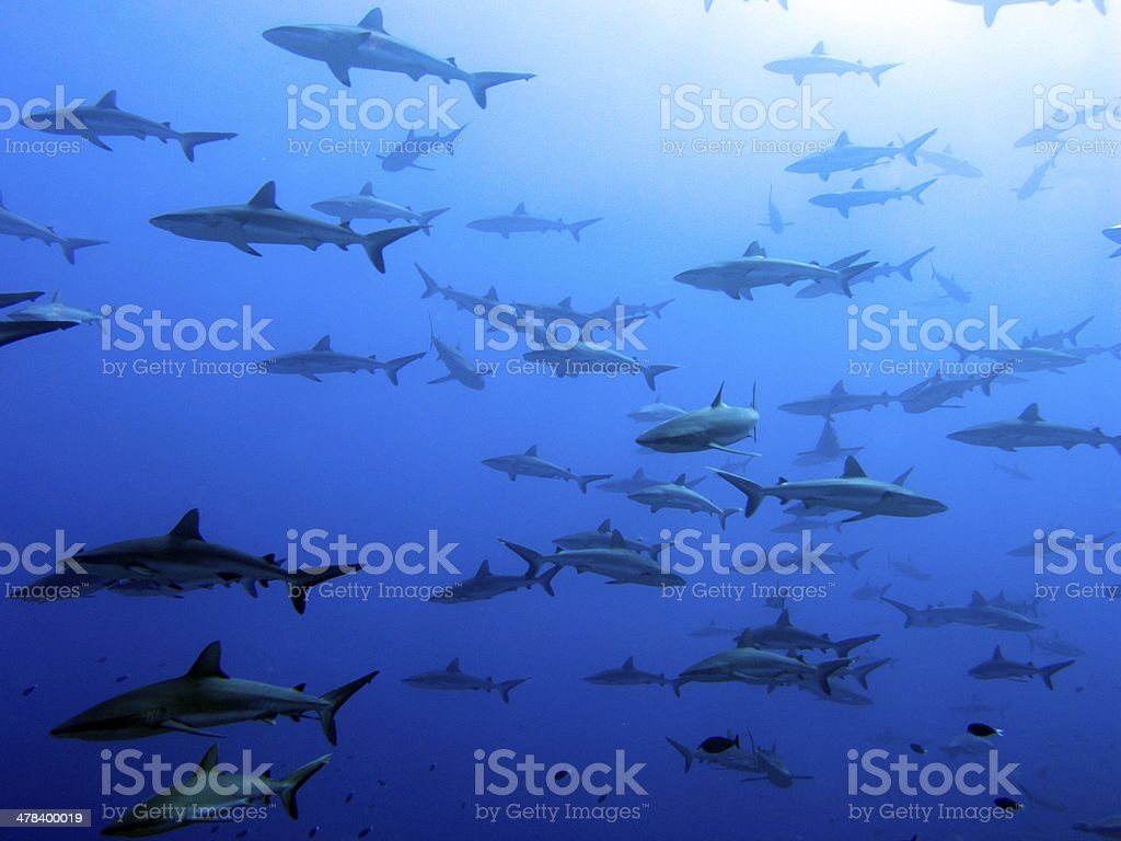 Grey reef sharks school - Fakarava Island, Polynesia stock photo