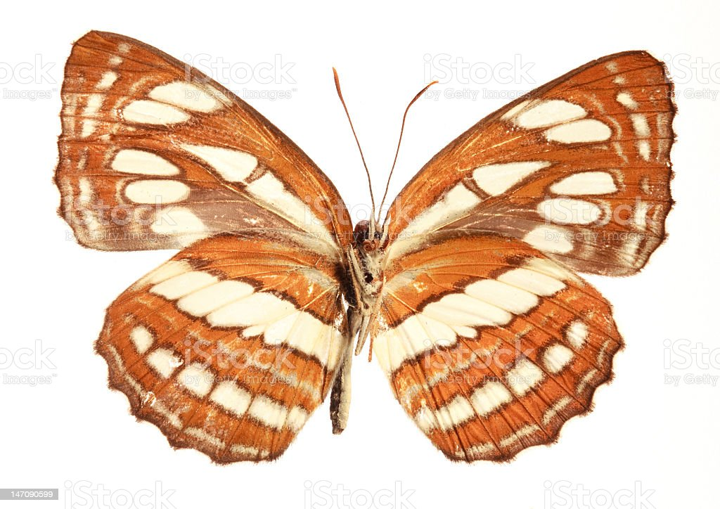Grey Sailor Butterfly (underside) royalty-free stock photo