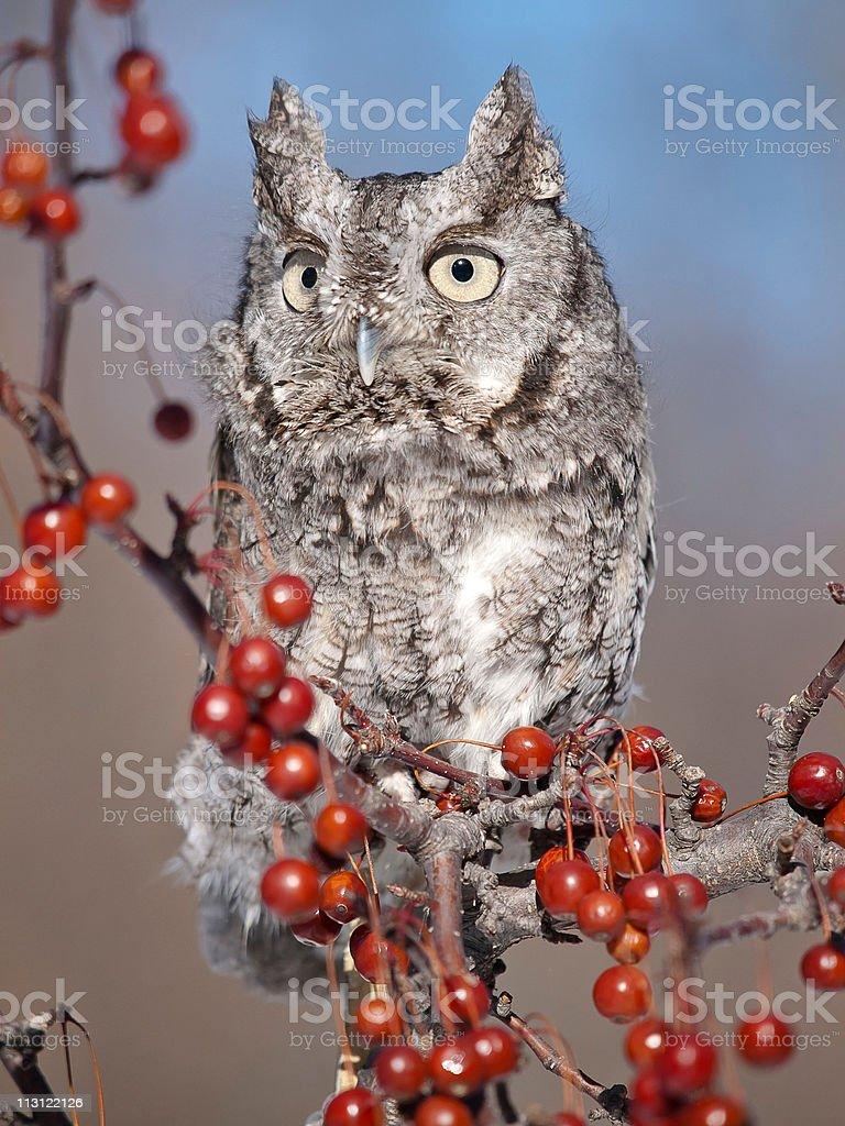 Grey Screech Owl stock photo
