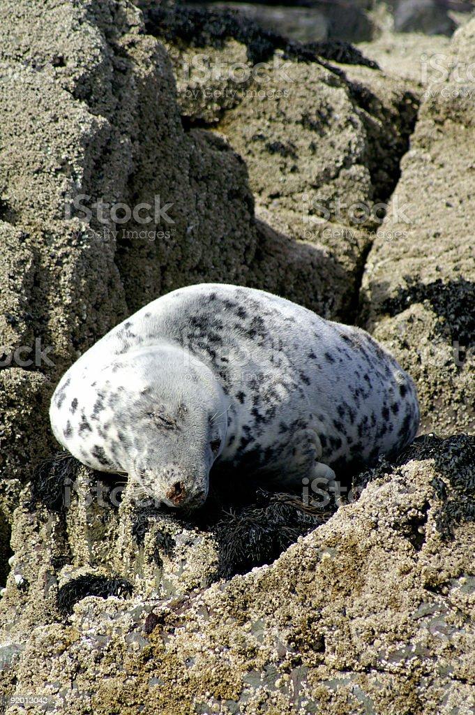 Grey seal basking in the sun stock photo