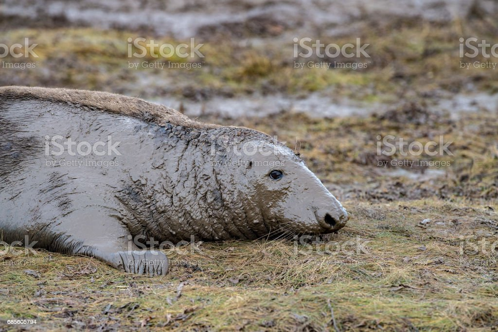 grey seal cow while looking at you stock photo