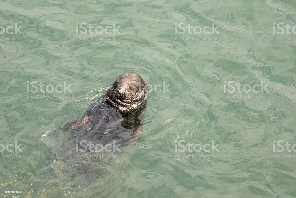 Grey seal in the wild pollution royalty-free stock photo