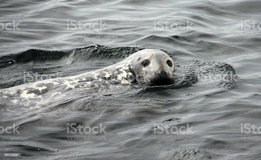 Grey Seal stock photo