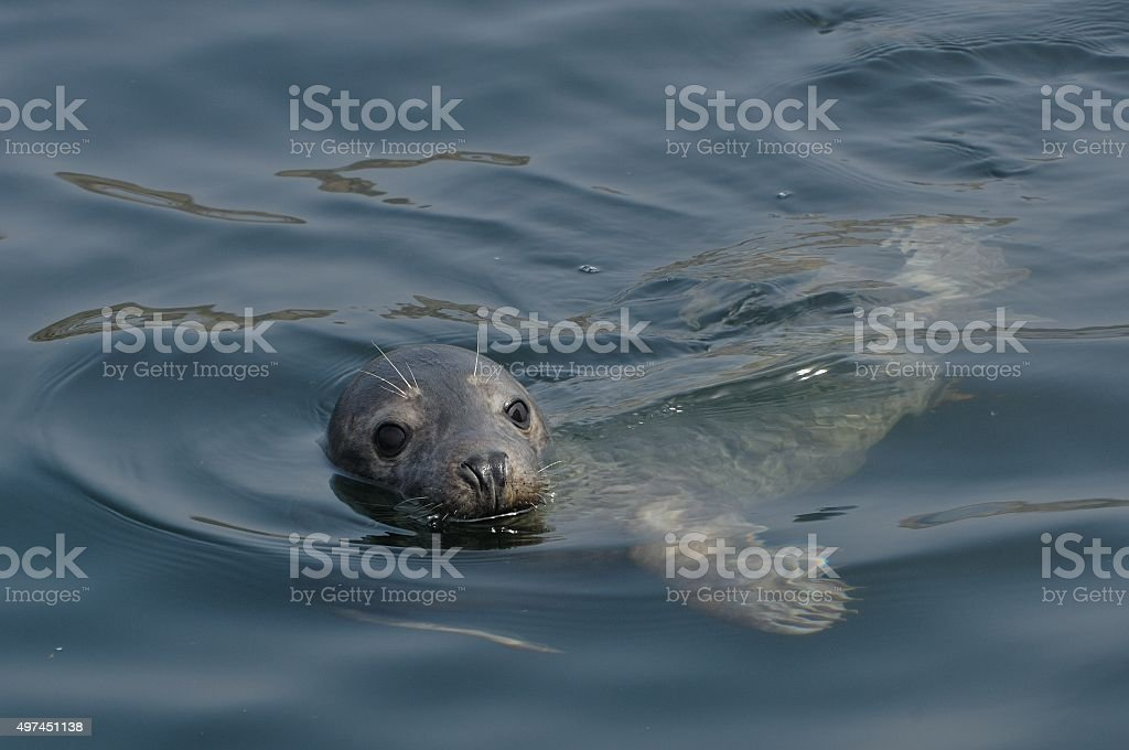 Grey Seal (Halichoerus grypus) stock photo
