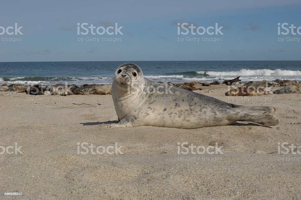 Grey seal stock photo