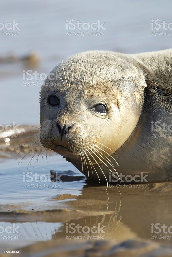 Grey Seal Pup royalty-free stock photo