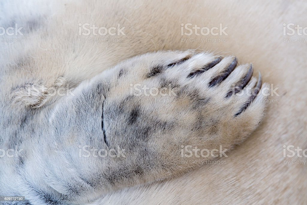 grey seal puppy fin detail stock photo