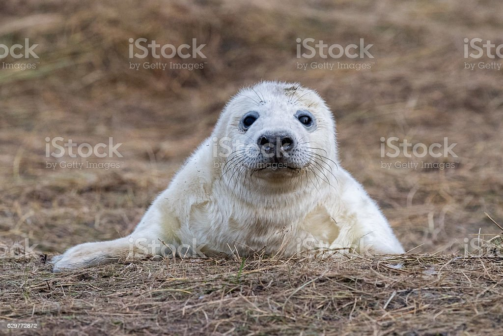 grey seal puppy while looking at you stock photo