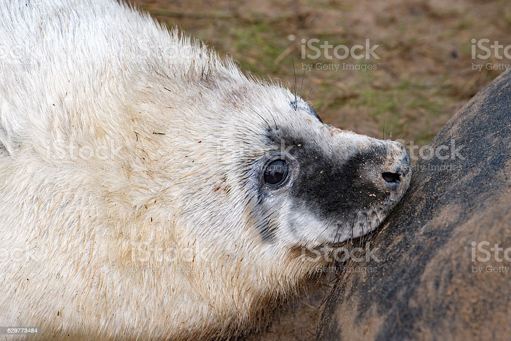 grey seal puppy while looking at you while breeding stock photo