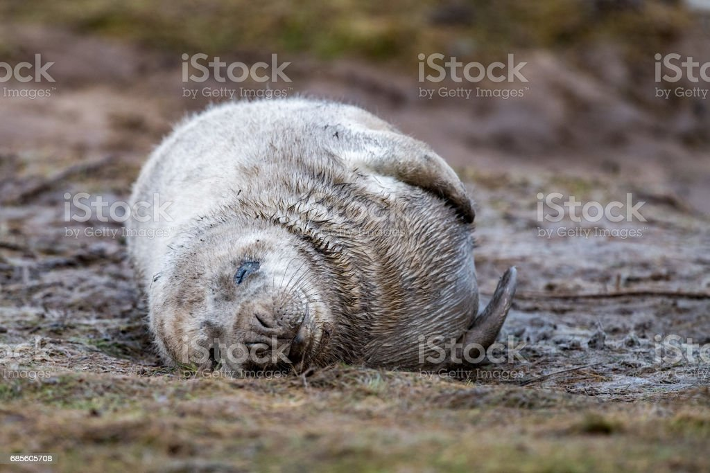 grey seal puppy while relaxing on the beach in Great Britain stock photo