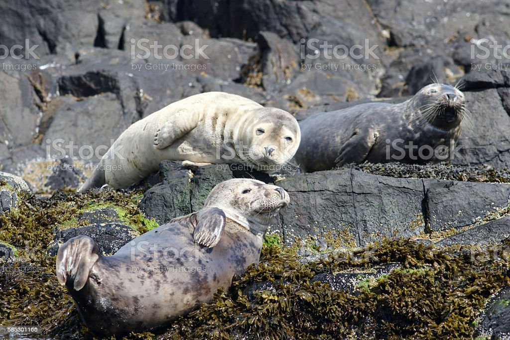 Grey Seals on rocks at the Farne Islands, Northumberland stock photo