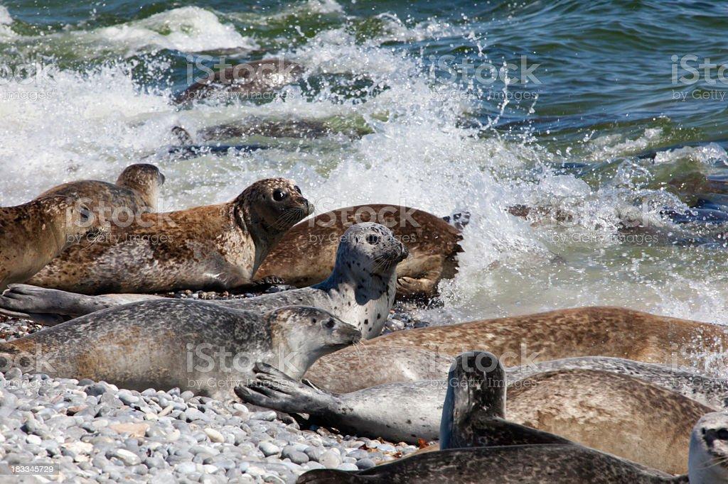 Grey Seals royalty-free stock photo