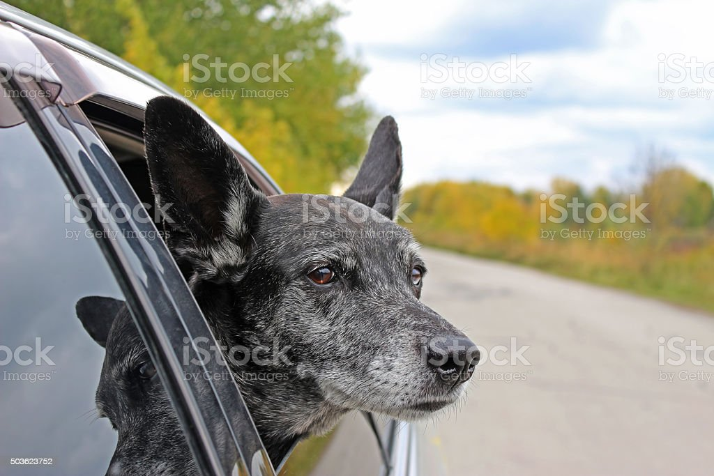 Grey shepherd looks out of the car stock photo