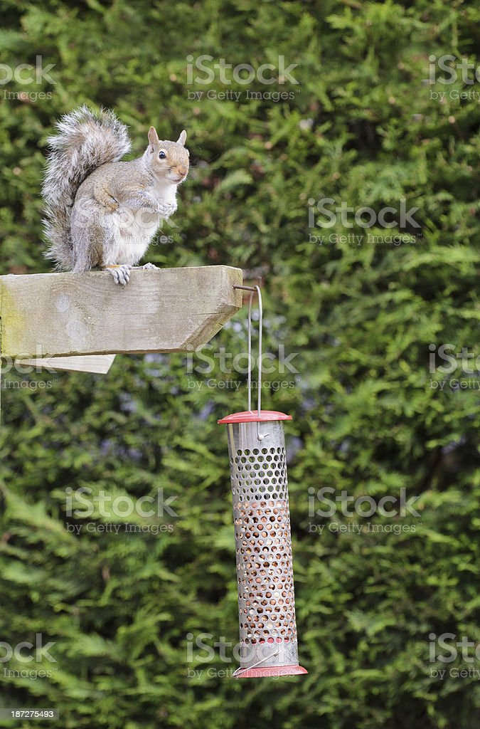 Grey Squirrel about to eat at a bird peanut feeder royalty-free stock photo