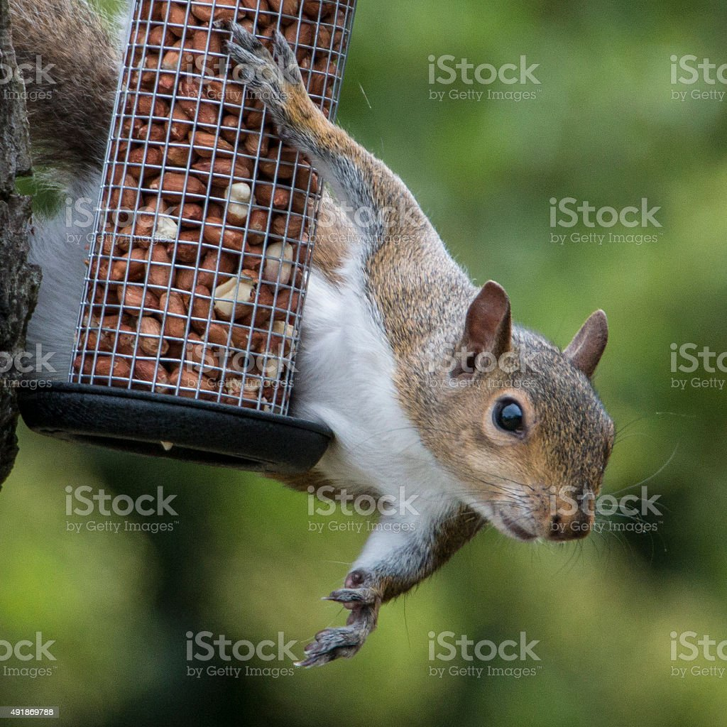 Grey Squirrel caught stealing bird's nuts stock photo