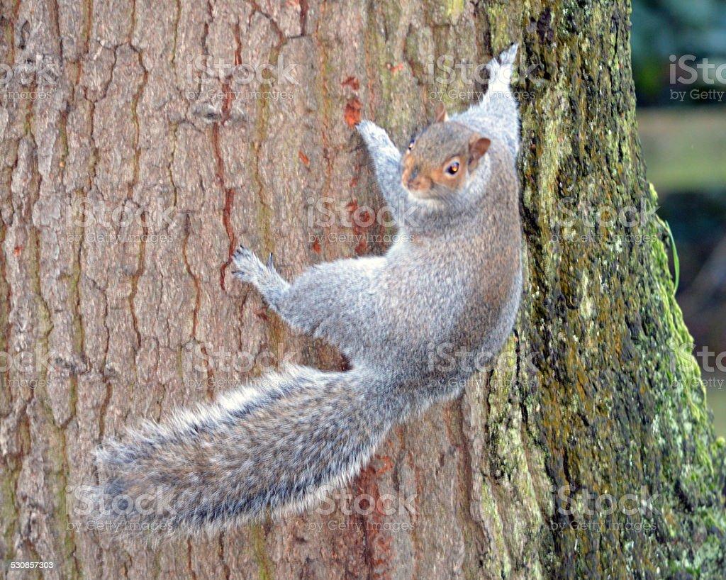 Écureuil gris d'escalade un arbre photo libre de droits
