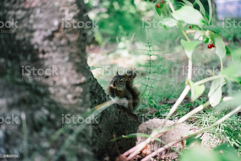 Grey Squirrel eating wild berry behind a tree stock photo