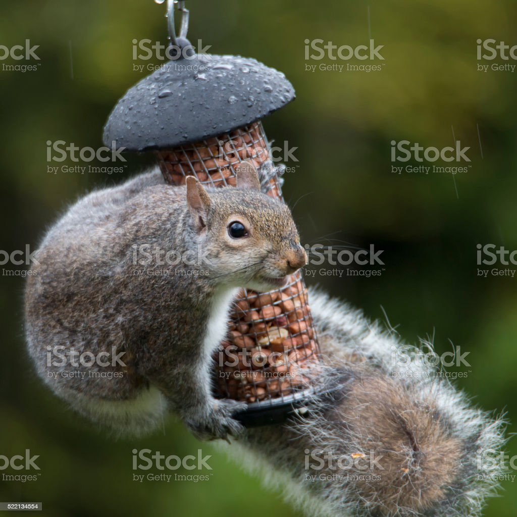 Grey Squirrel hugging birds peanuts in the rain stock photo