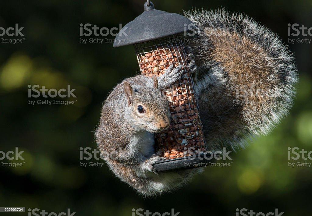 Grey Squirrel hugging birds peanuts stock photo