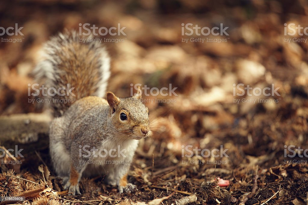 Grey squirrel in a park royalty-free stock photo