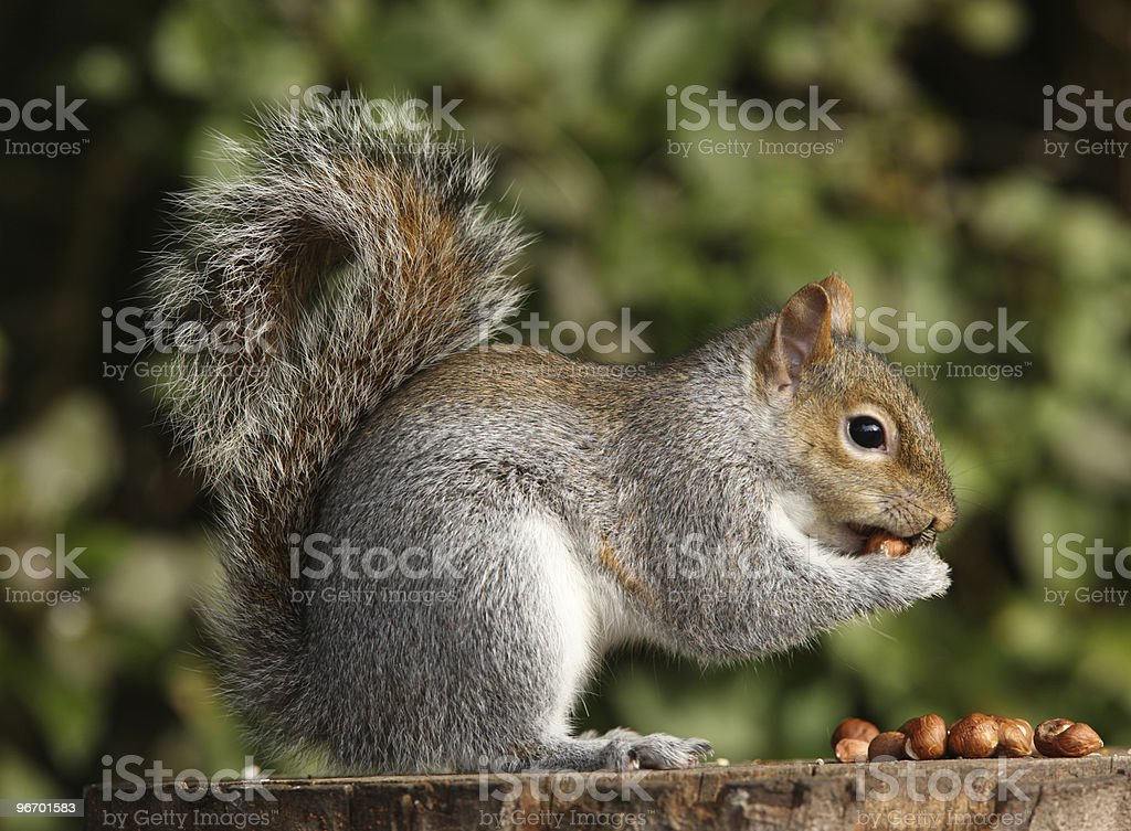 A grey squirrel munching on some nuts stock photo