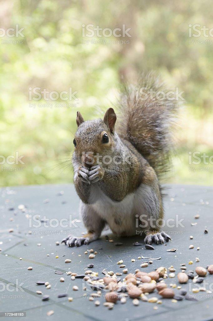 Grey squirrel nibbling royalty-free stock photo