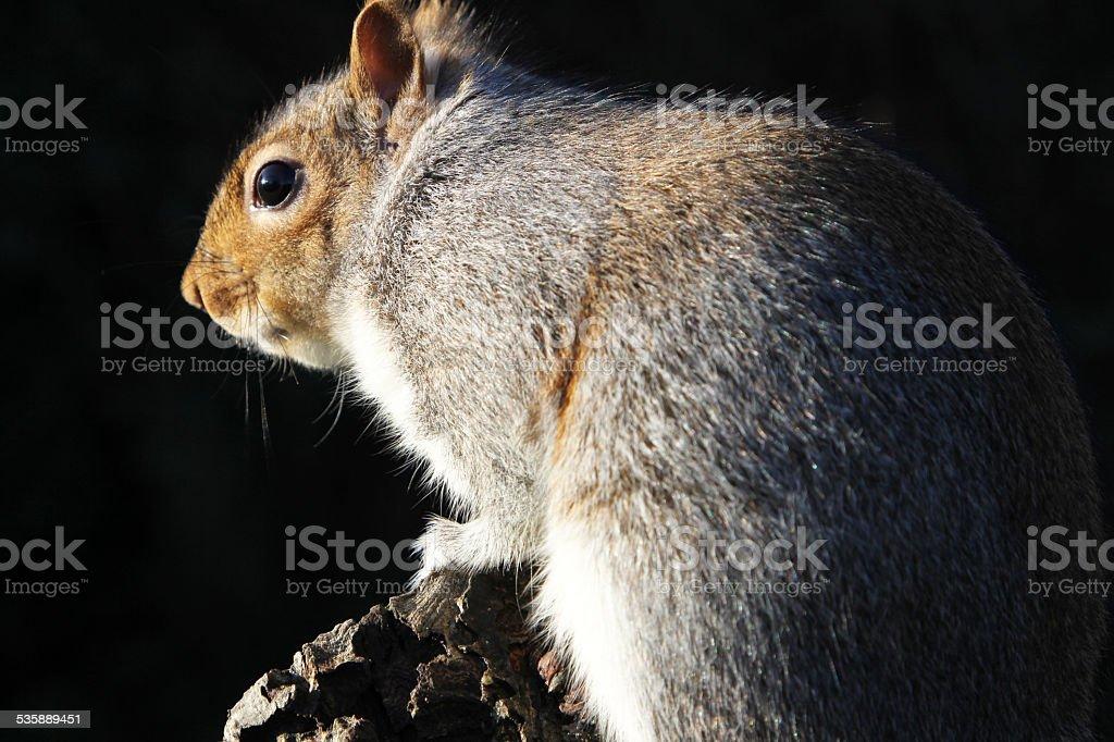 Grey Squirrel on Black stock photo