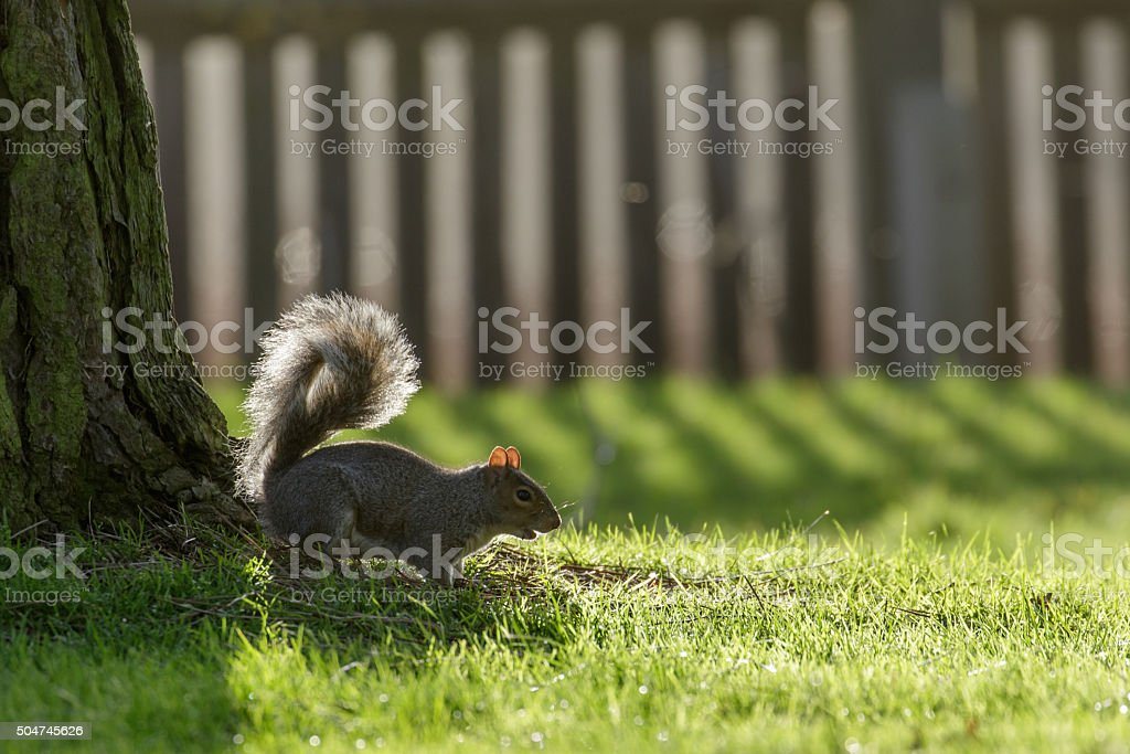 Grey Squirrel (Sciurus carolinensis) stock photo