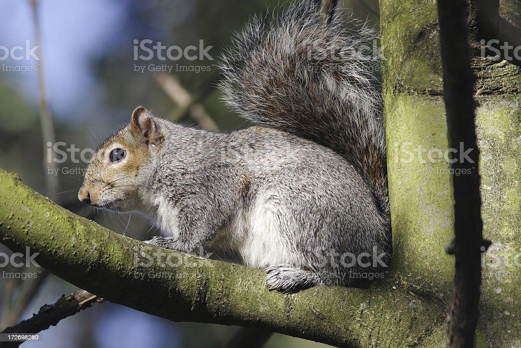 Grey squirrel Sciurus carolinensis warming in sun on branch royalty-free stock photo