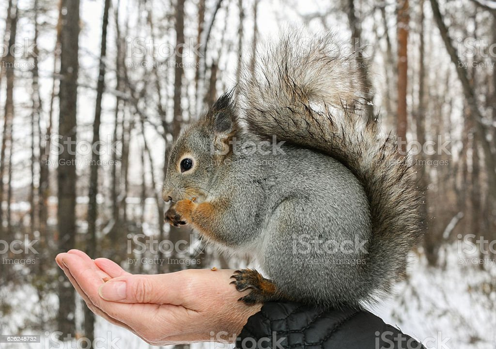 Grey squirrel sits on human's hand and gnaws nuts. stock photo