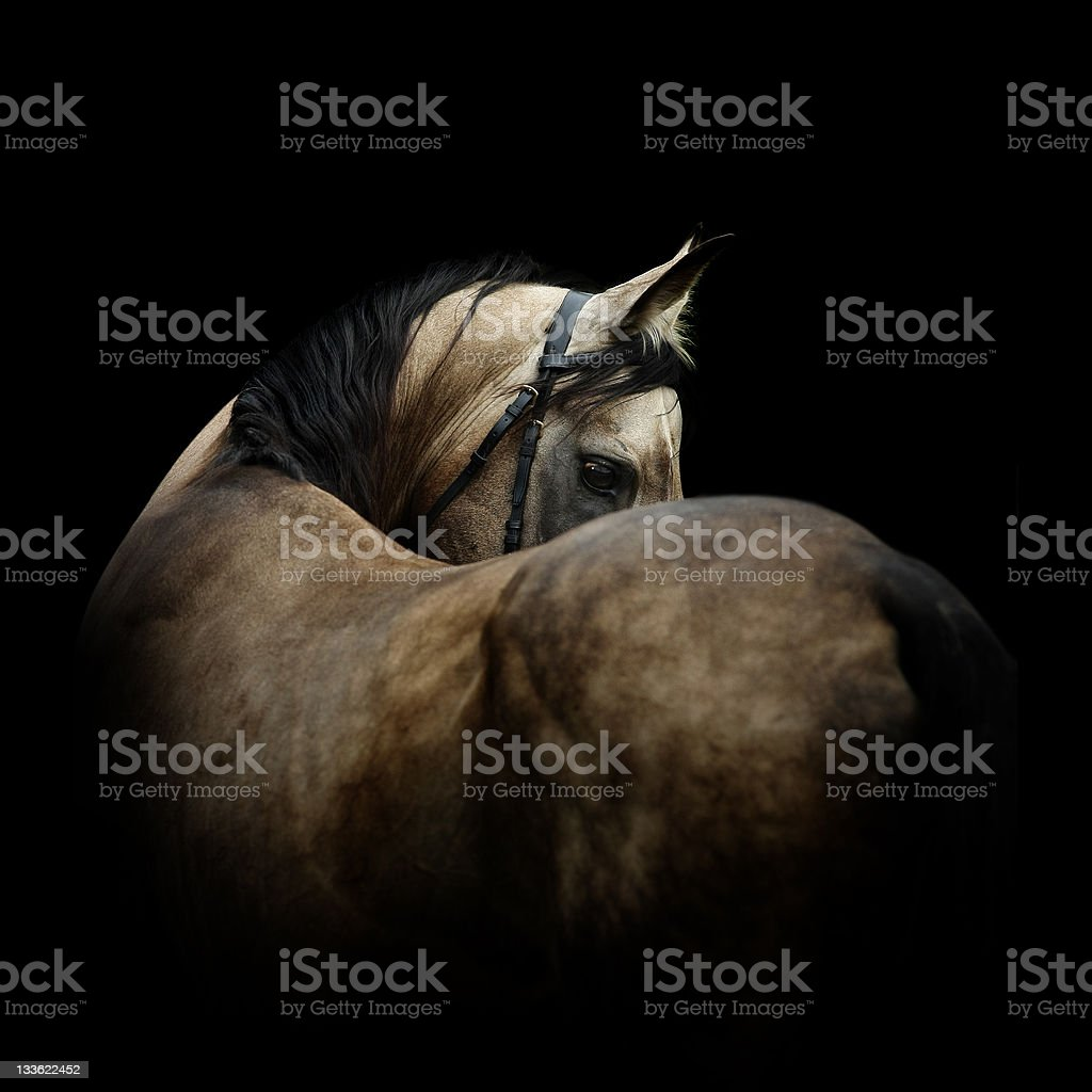 Grey stallion on black stock photo