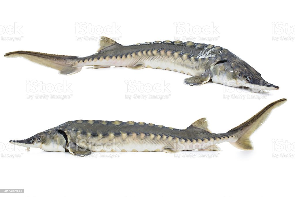 2 grey sturgeon fish on white background stock photo