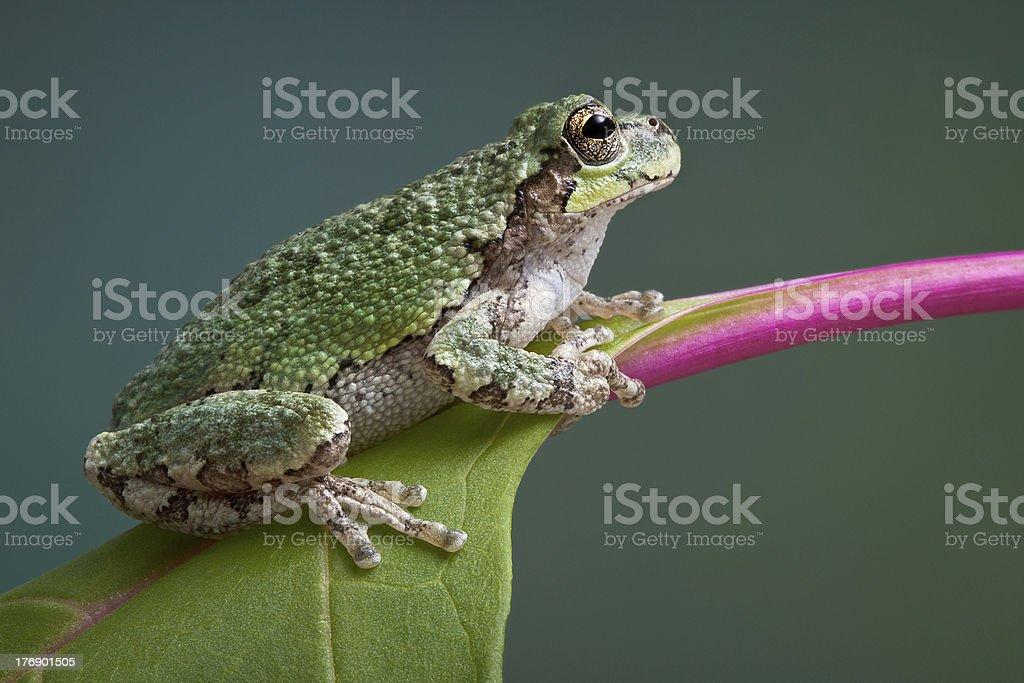 Grey tree frog on pokeweed stock photo
