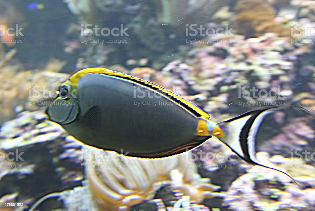 grey tropical fish with white tail swims in hot water royalty-free stock photo