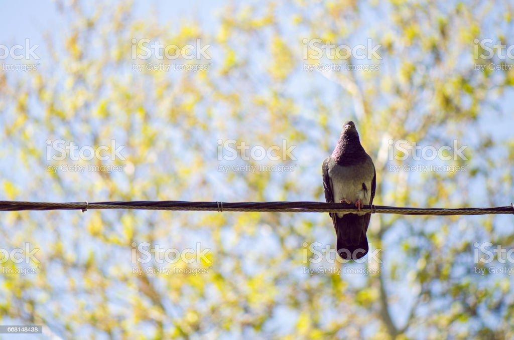 Grey Urban Pigeon stock photo