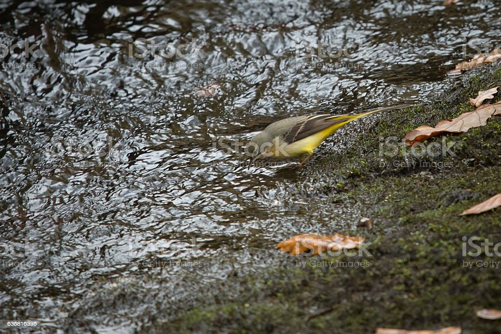 Grey Wagtail at the waters edge. stock photo