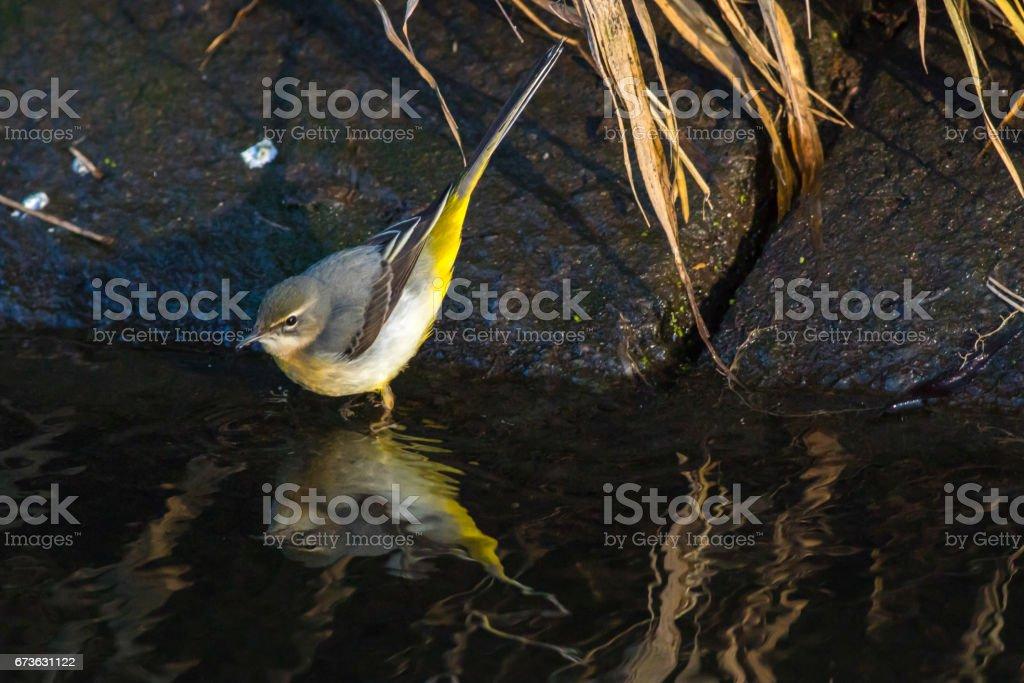 Grey wagtail (Motacilla cinerea) stock photo