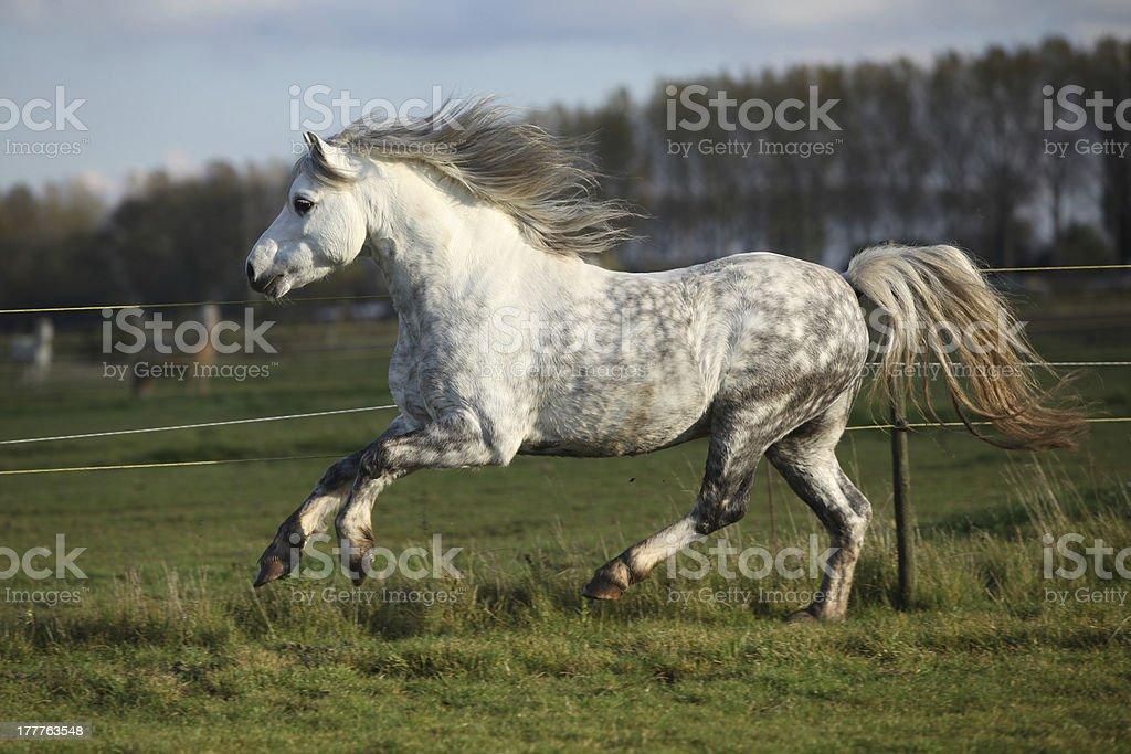 Grey welsh mountain pony stallion running stock photo