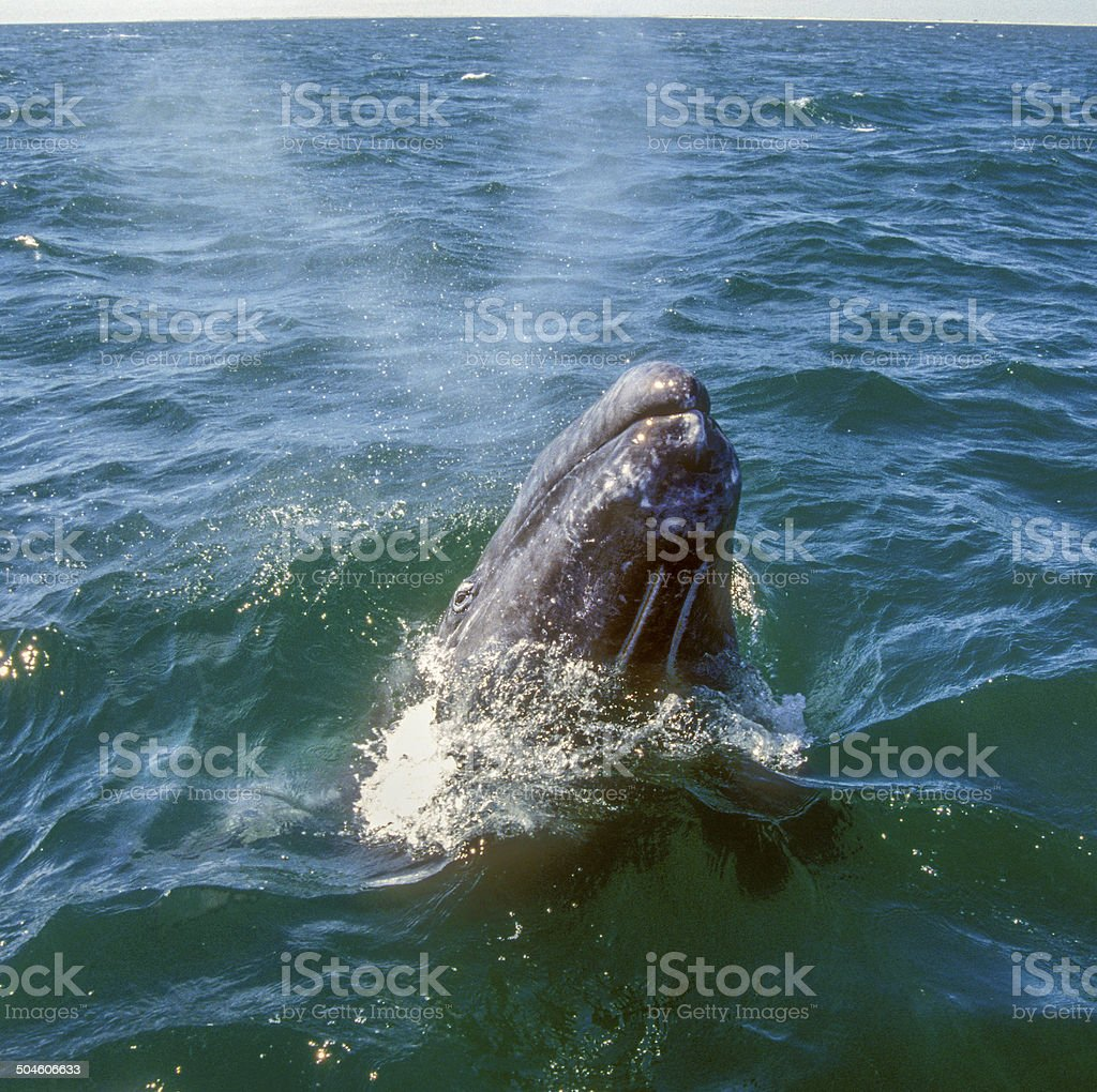 Grey Whale Emerging stock photo
