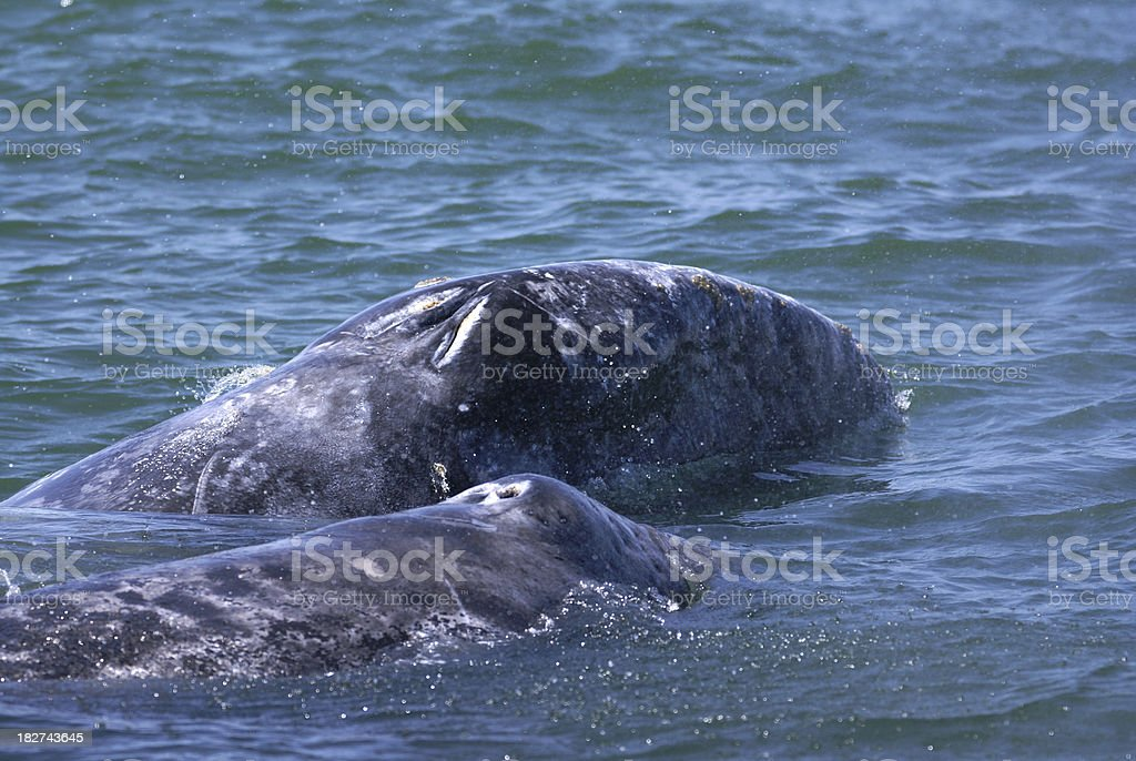 Grey whale mother and calf stock photo