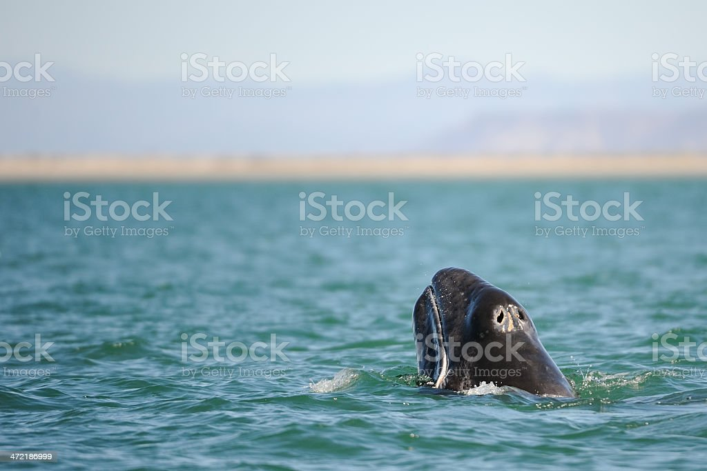 grey whale stock photo