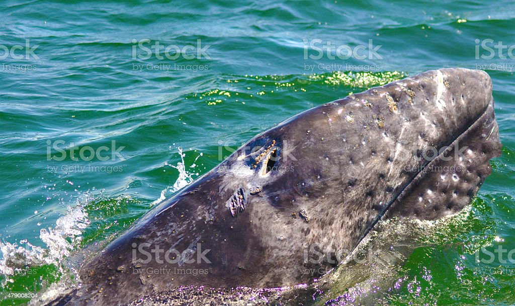 Grey whale showing up stock photo