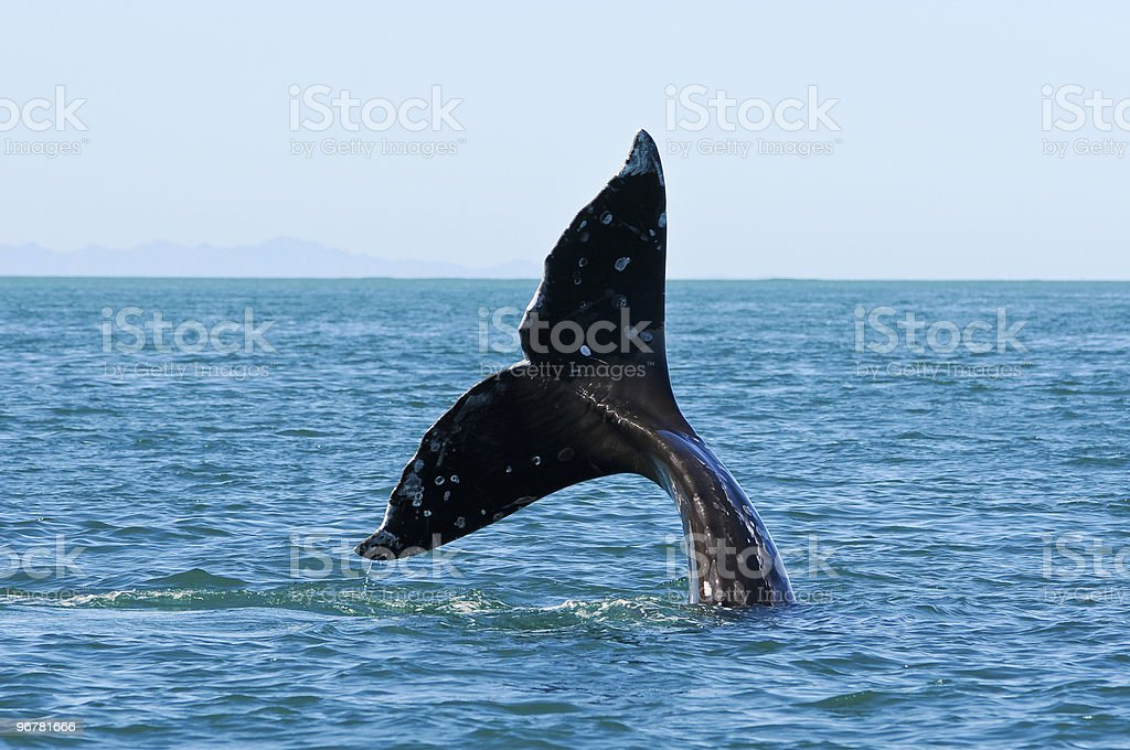 grey whale whatching royalty-free stock photo