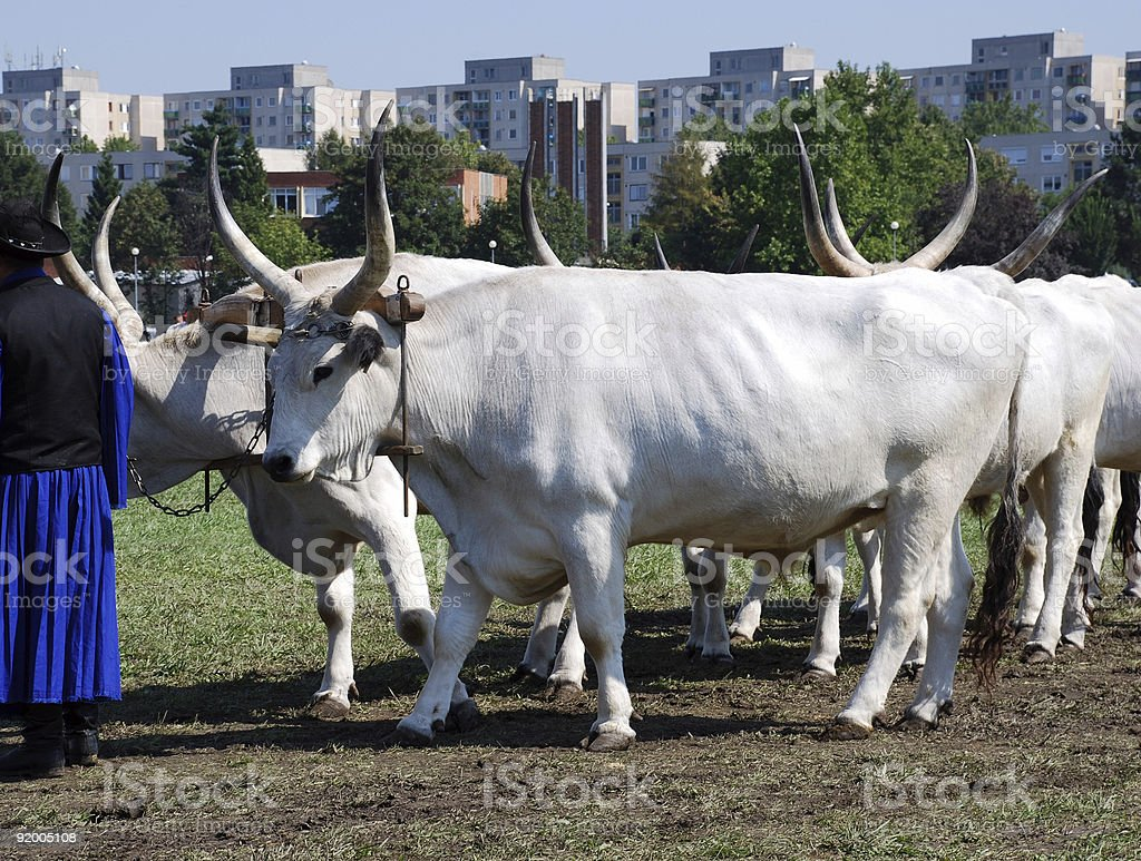 grey wild cattles stock photo