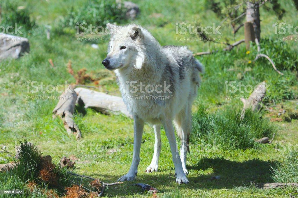 Grey Wolf closeup in green meadow stock photo