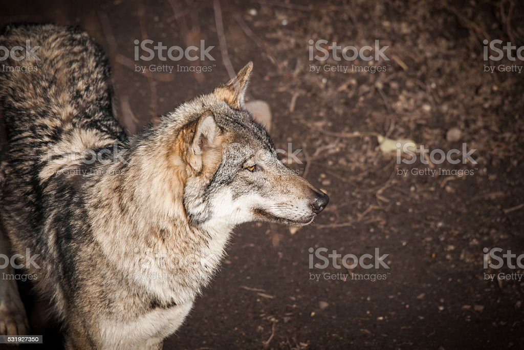 Grey wolf in a forest in autumn stock photo