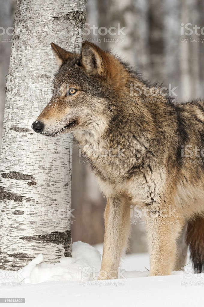 Grey Wolf (Canis lupus) in front of Birch Tree royalty-free stock photo