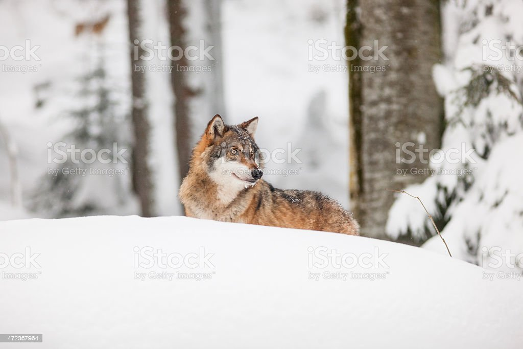 Grey wolf in the snow stock photo